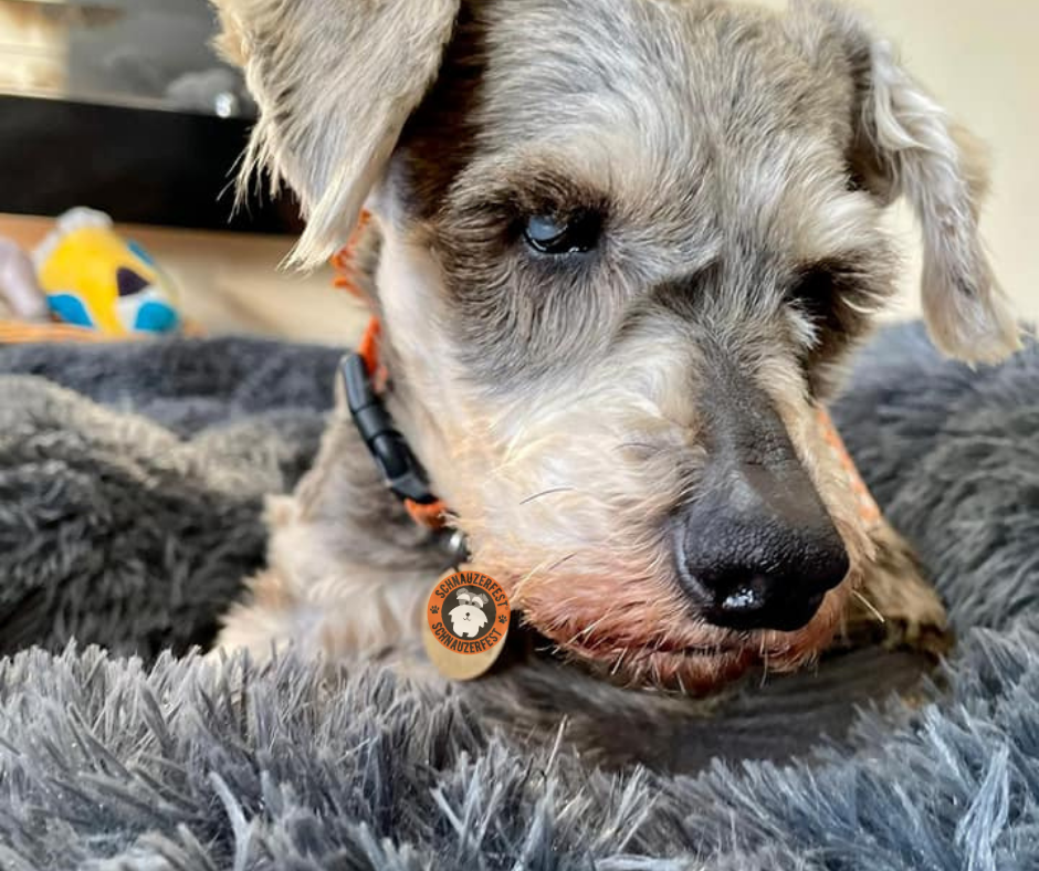 The face of Clemmie a miniature schnauzer with eyes that are white with cataracts