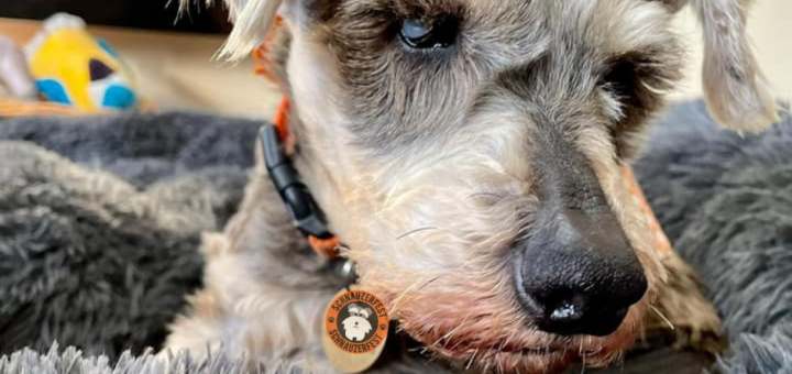 face of a mini schnauzer dog with eyes white with cataracts