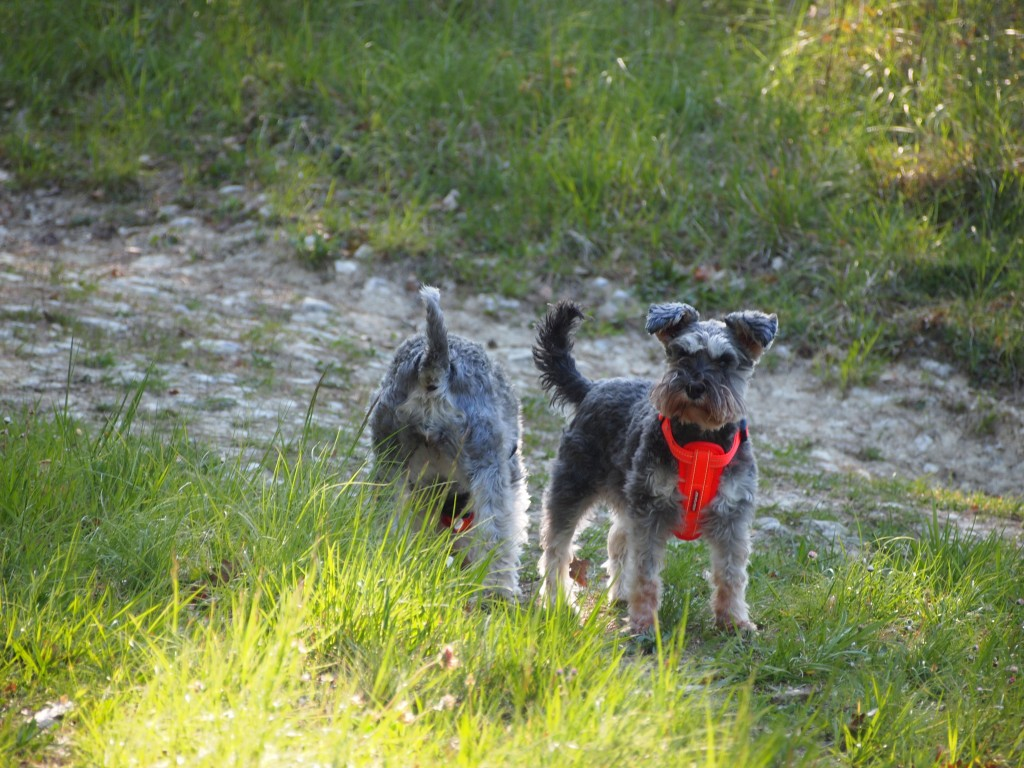 2 miniature schnauzers, one standing facing the camera the other with her nose on the ground