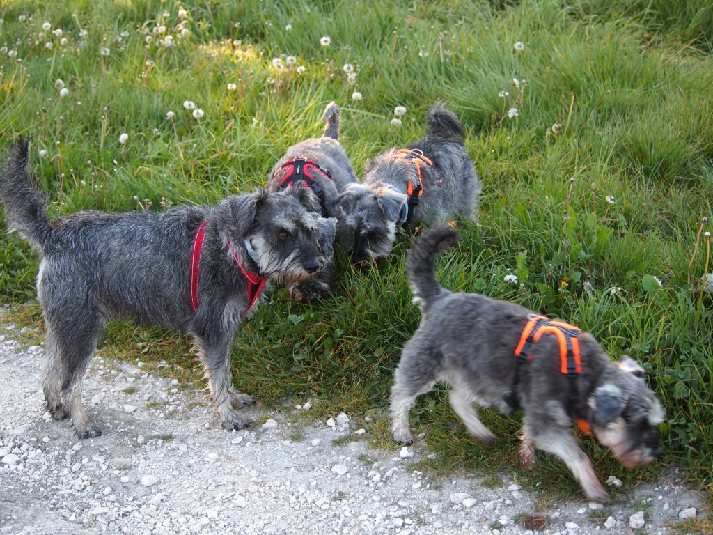 4 miniature schnauzers sniffing a grassy verge