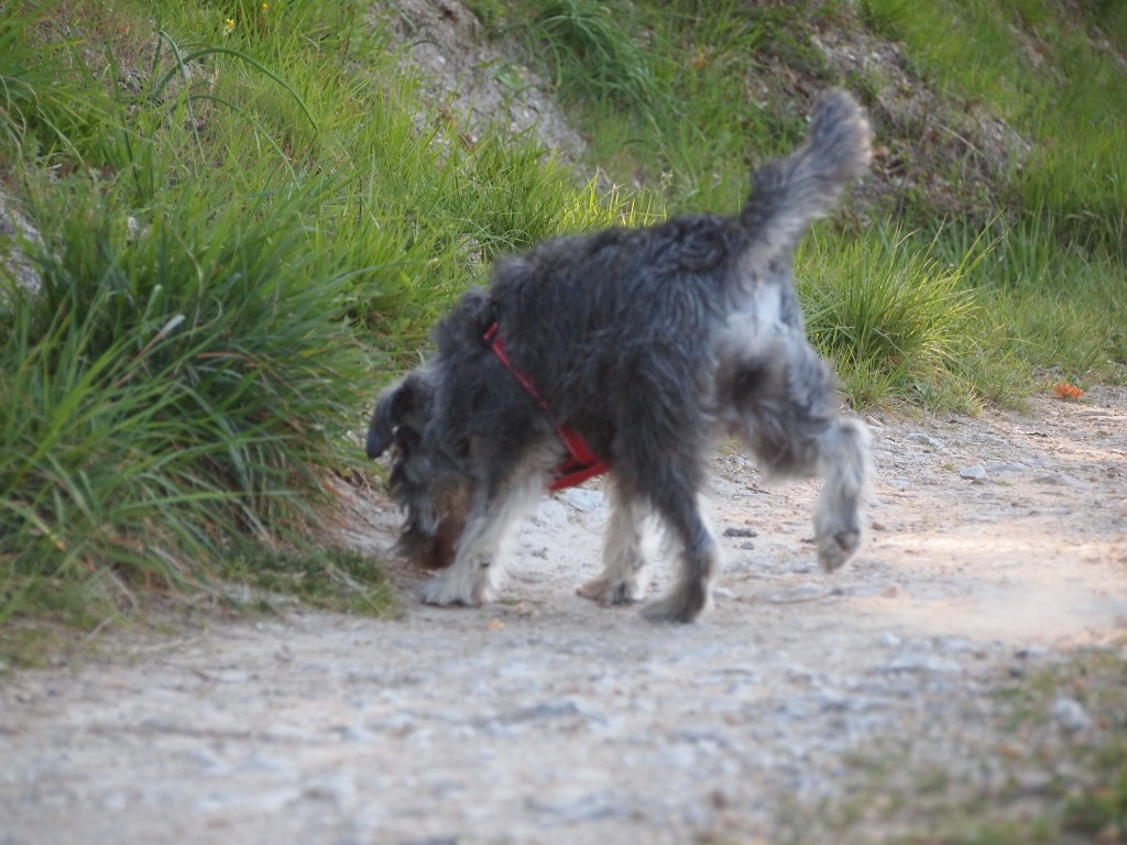 one miniature schnauzer on his own sniffing the ground on a path