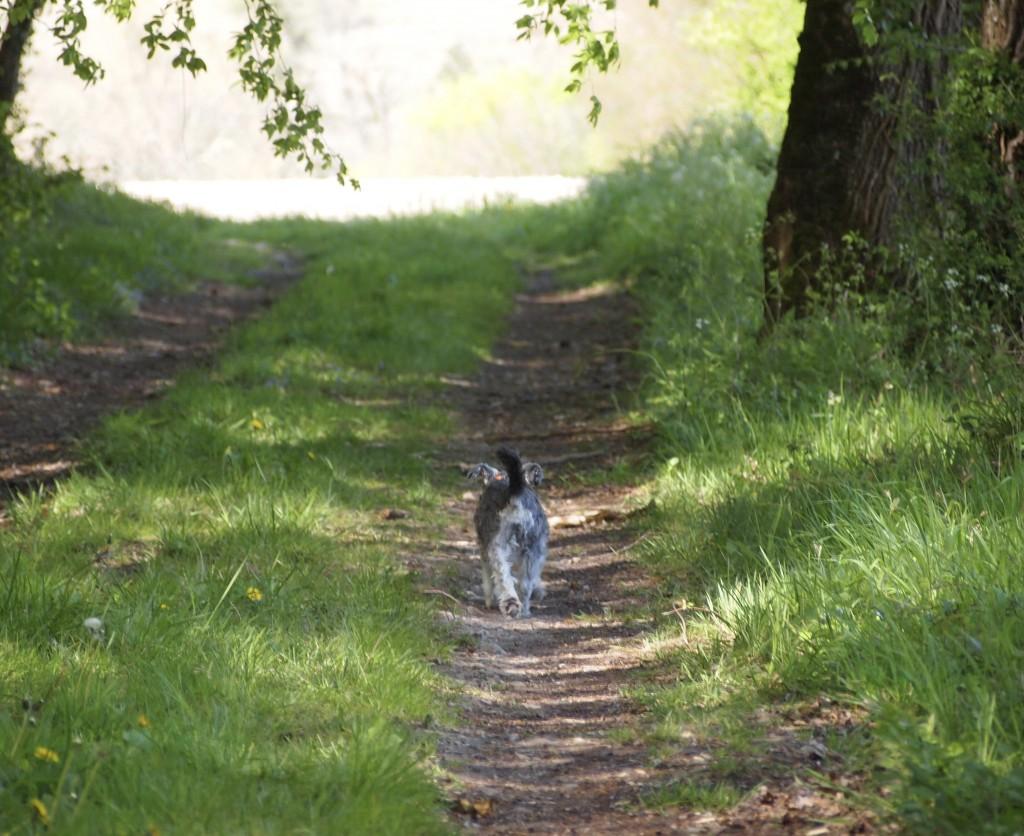 a miniature schnauzer walking into the distance along a grassy path
